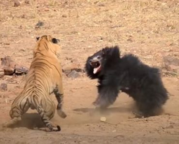 Bear vs. Tiger Fighting - Mother Bear Fights Tiger to Save Her Cub in Dramatic Video