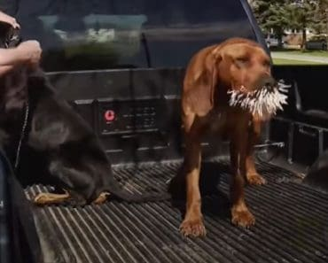Bloodhounds vs. Porcupine - A fiery confrontation and the end