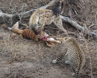 Amazing Hyena and Leopard Share a Meal