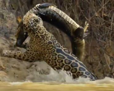 Big Cats vs. Crocodile - Battle of the Wild Rulers