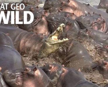 Hippos Attack Crocodile