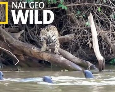 Jaguars vs. Giant Otters - Who Will Win.