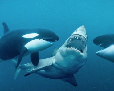 This Is Why Orcas Are Called Killer Whales - Ocean hegemony Video